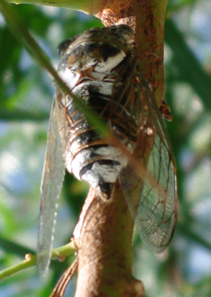 cicada from Cyprus
