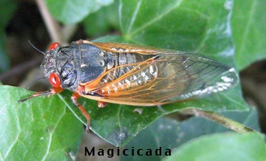 Identify - Cicada Mania