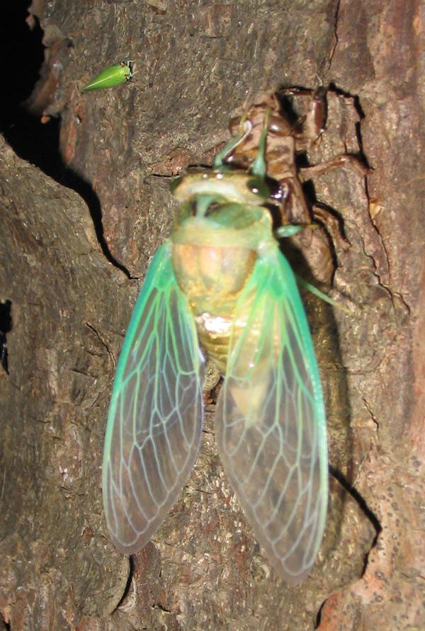 Cicada and a leaf hopper