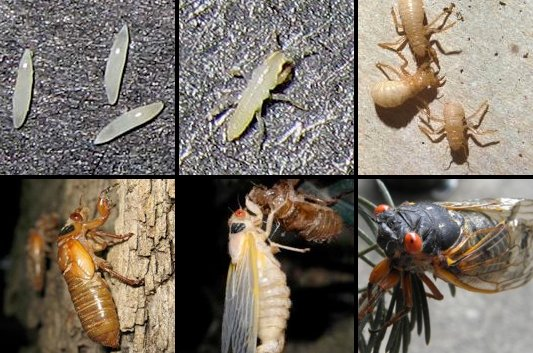 Cicada Insect News, Facts, Life Cycle, Photos & Sounds