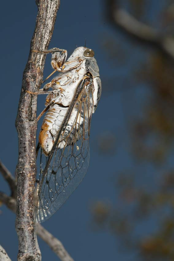 Cacama valvata cicada photo by Adam Fleishman