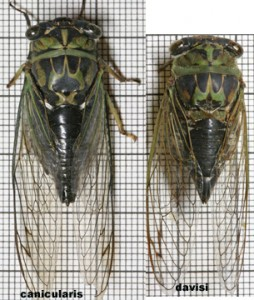 Neotibicen davisi & canicularis by Paul Krombholz