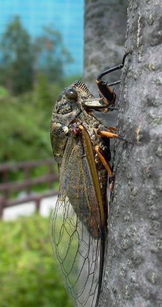 A cicada photo from South Korea
