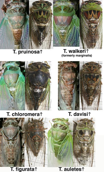 It is possible to identify Tibicen species just after they have molted