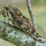 N. pruinosus