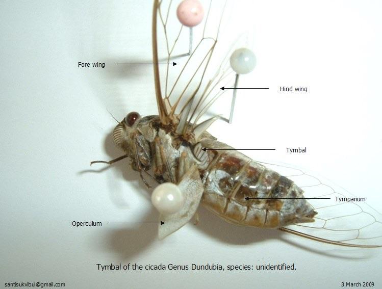 Dundubia