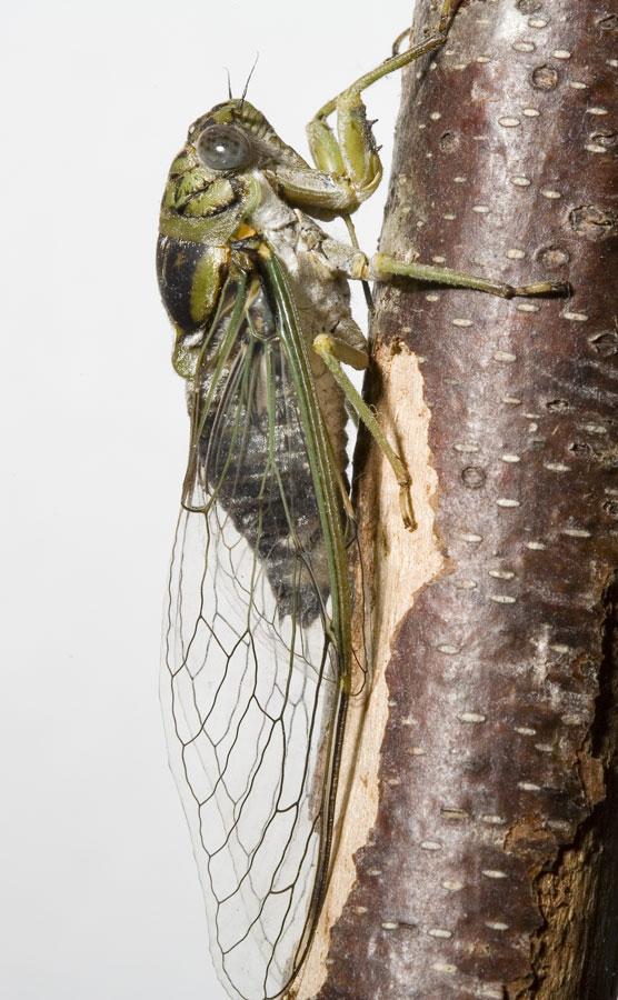 Diceroprocta vitripennis by Paul Krombholz