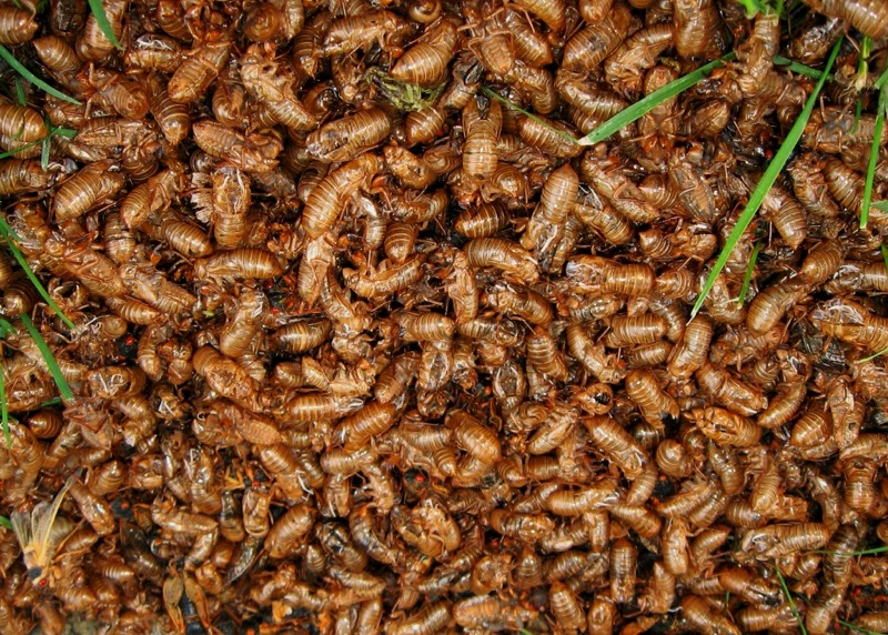 A Huge mass of cicada exuvia: