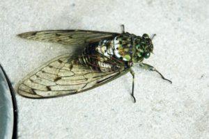 Oncotympana Maculaticollis