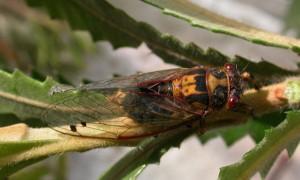 Diemaniana euronotiana. Photo by David Emery.