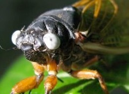 The most interesting 17 year cicada facts - Cicada Mania