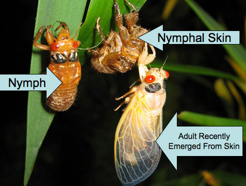 Nymph and Adult