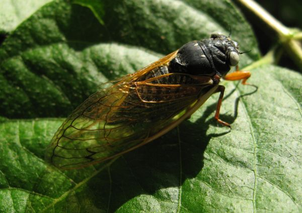 White eyed 17 year cicada