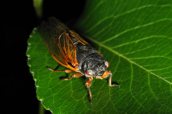 Red Gray Marble eyed cicada