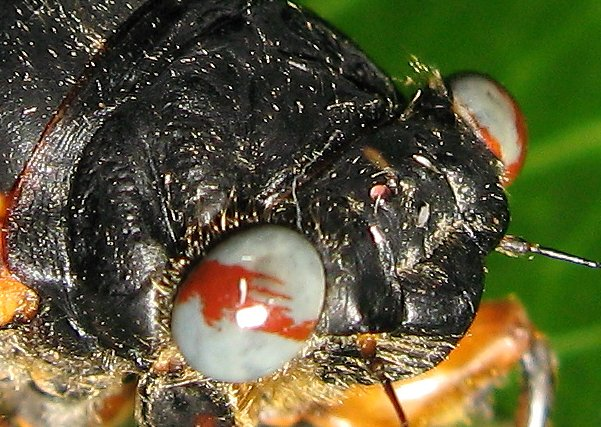Close up of marble eyed cicada