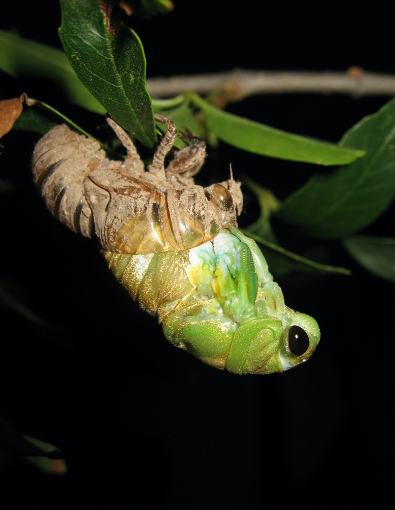 Molting Neotibicen superbus from Texas photo by Roy Troutman