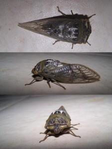 Chonosia crassipennis