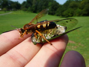 Cicada Killer Wasp and Neotibicen tibicen