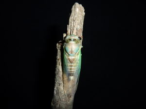 Neotibicen lyricen
