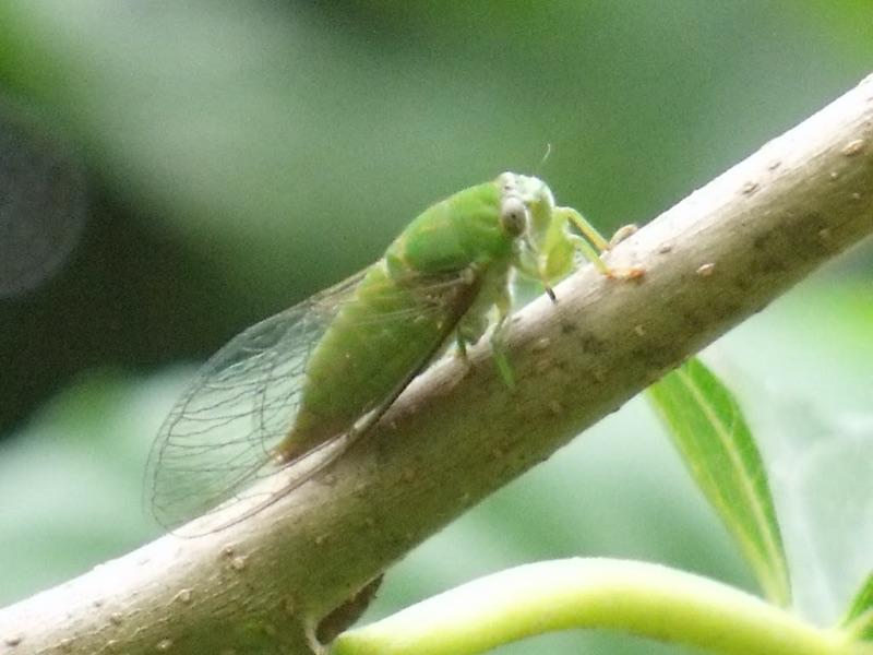 Jairo Green Cicada