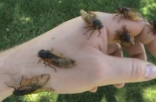 There will be plenty of cicadas on hand.
