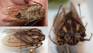 Tettigarctidae sp.