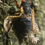 Adult Brood II Magicicada septendecim from Westfield NJ by Jim Occi