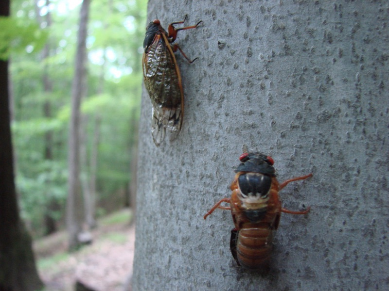 Adult Magicicada and cicada with failed ecdysis in Connecticut by Jean-Francois Duval