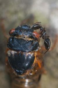 Ant feeding on Magicicada in Westfield by Jim Occi