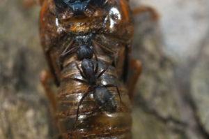 Ant feeding on Magicicada in Westfield by Jim Occi 2