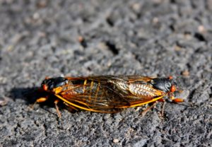 Mating Magicicada septendecim in Scotch Plains by Judy Lanfredi 2