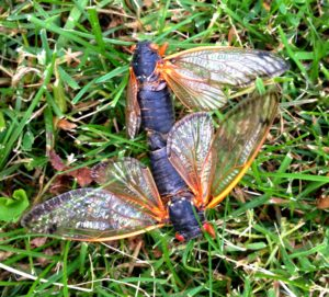 Mating Magicicada septendecim in Scotch Plains by Judy Lanfredi