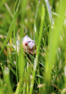 Teneral Magicicada in Grass in Scotch Plains NJ by Judy Lanfredi