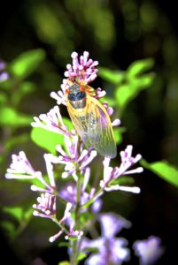 Teneral Magicicada on a flower in Scotch Plains by Judy Lanfredi