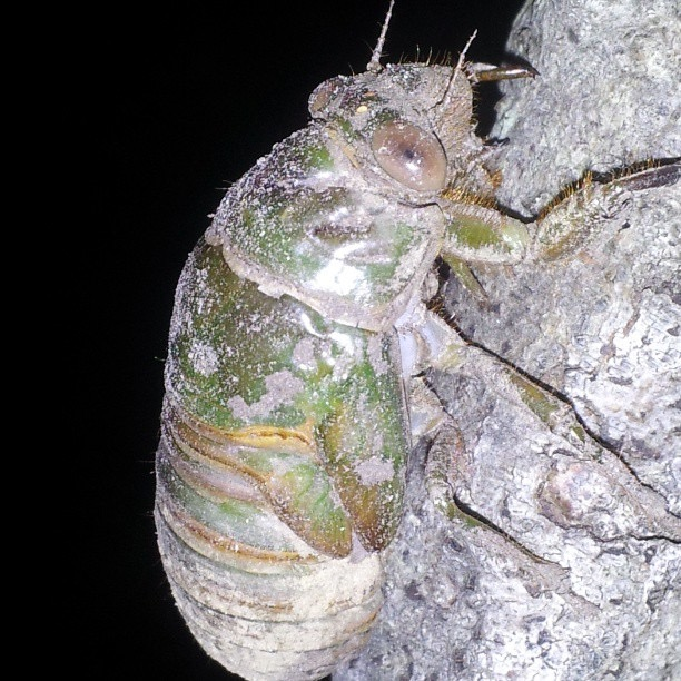 Neotibicen auletes nymph