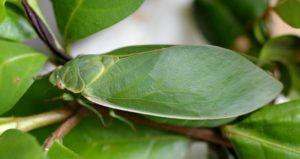 Bladder cicadas (Cystosoma saundersii)