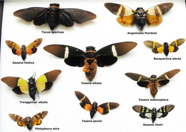 A visual comparison of some cicadas of Southeast Asia