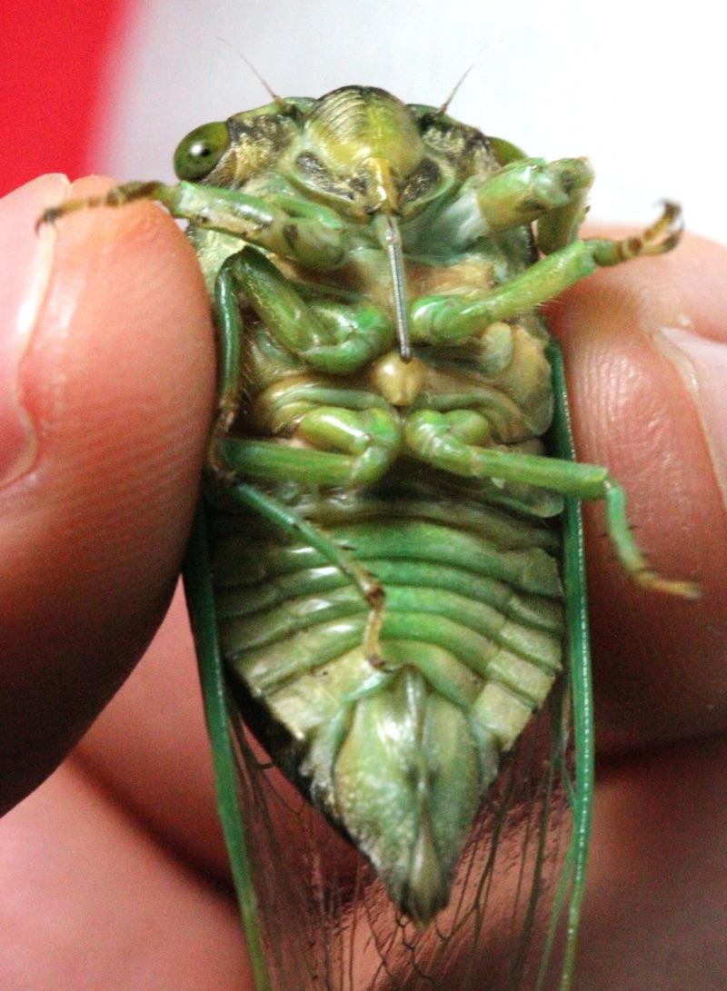 Female Neotibicen tibicen abdomen