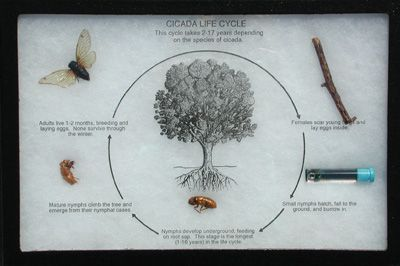 Connecticut Valley Biological Supply Company Cicada Life Cycle
