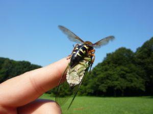 Elias Bonaros Cicada Killer Wasp