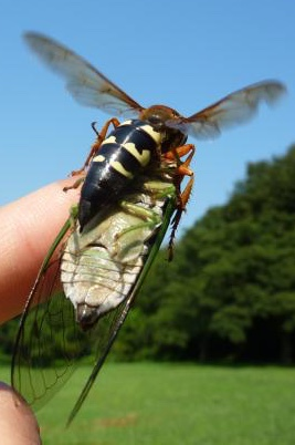Cicada Killer Wasp on Elias' Finger