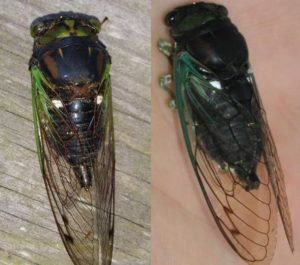 Color variations in chloromera tibicen