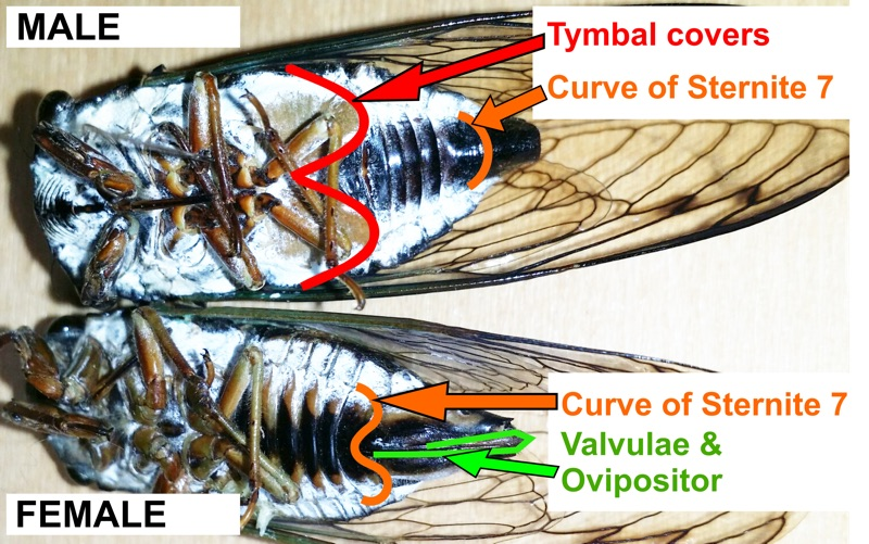 male and female cicadas compared