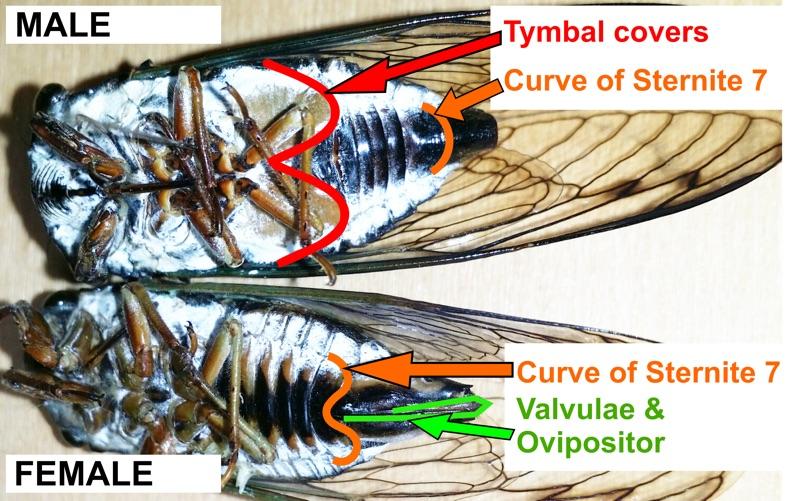 male and female cicadas compared