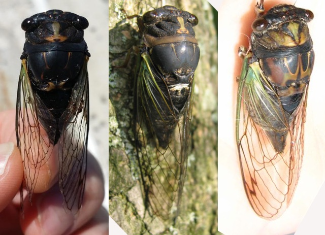 Lyric cicadas compared