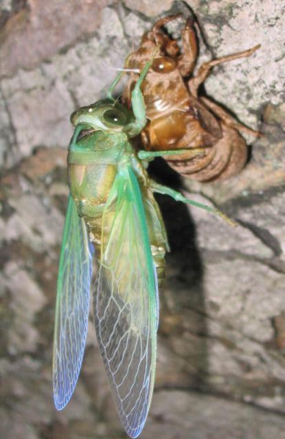 What Do Cicadas Symbolize Cicada Mania