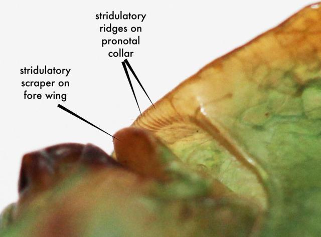 Cyclochila australasiae stridulatory structures
