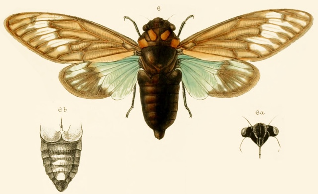 3301 Cicada