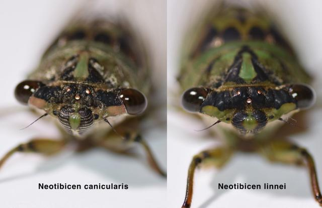 Neotibicen linnei and canicularis compared