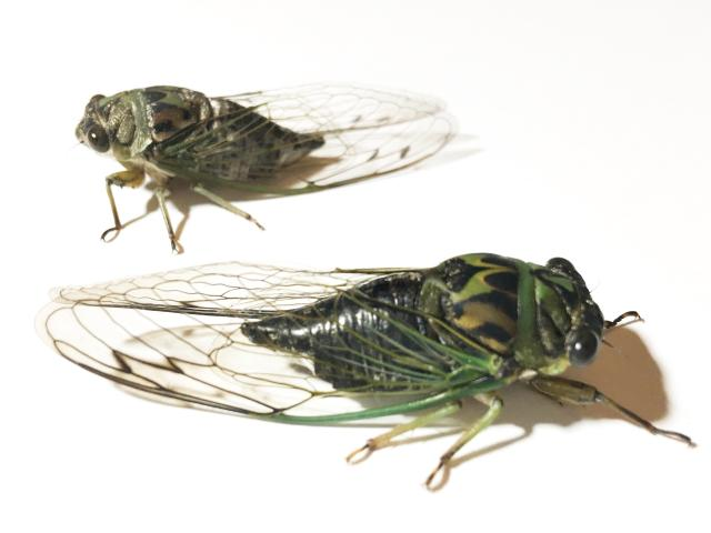 linnei top canicularis bottom wing comparison